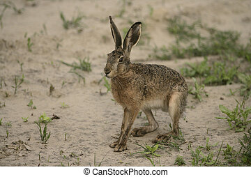 Brown hare, Lepus europaeus, single har on ground, Hungary