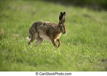Brown hare, Lepus europaeus, single hare in grass, Scotland
