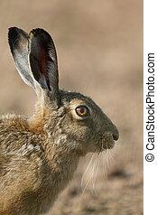 Brown hare, Lepus europaeus, single mammal head shot, ...