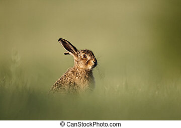 Brown hare, Lepus europaeus, single mammal on grass, Midlands, May 2011