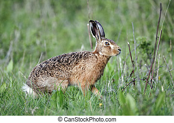 Brown hare, Lepus europaeus, single mammal on grass, Warwickshire, May 2012