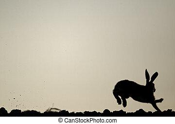 Brown hare, Lepus europaeus, single mammal running, Midlands...