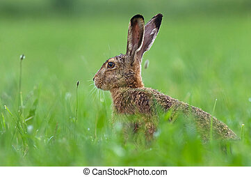 Brown hare - Photo of brown hare in a grass