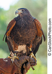 Brown hawk on the hand of falconer.