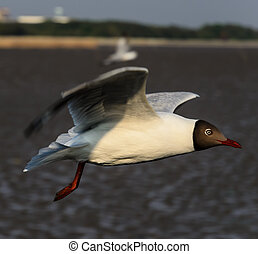 Brown-headed gull in Mangrove forest