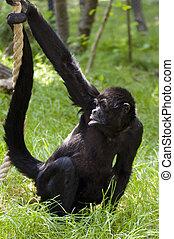 brown-headed, spin aap