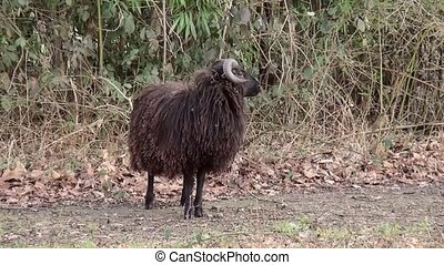 Brown Heidschnucke sheep walks away