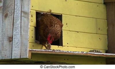 Brown hen in the door of a chicken coop