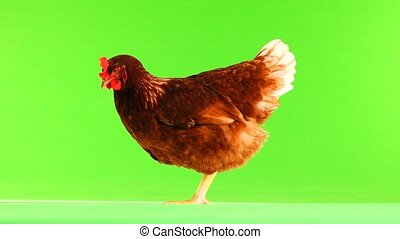 brown hen isolated on green screen