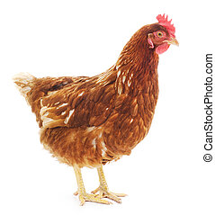 brown hen isolated on white, studio shot