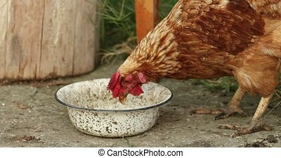 brown hen Pecking From Metallic Bowl, Organic Farming