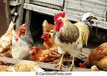Brown hens and cock outdoors, close up
