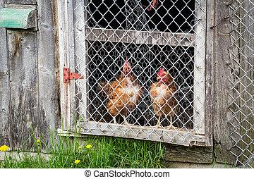 brown hens observing in chicken coop