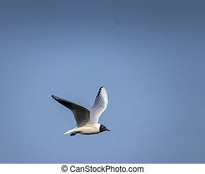 Brown-hooded gull in flight Kadettangen Norway