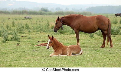 brown horse and foal on pasture