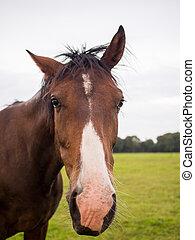 Brown horse close portrait