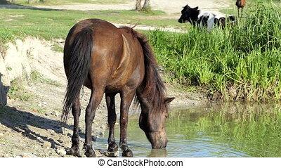 Brown horse drinks lake water in summer in slo-mo