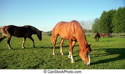 Brown horse eating grass at rural field. Horses on pasture at farm