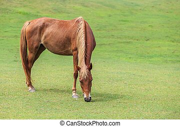 Brown horse eating grass in green field