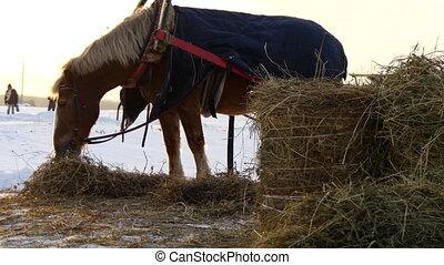 Brown horse eating hay