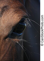 Brown horse eye close up