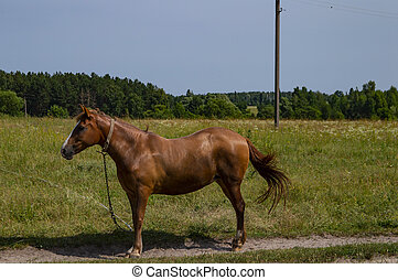 Brown horse grazed on a pasture tied with a chain