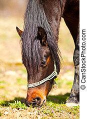 Brown horse grazing, closeup