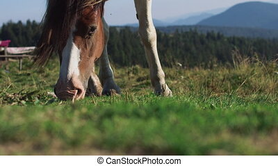 Brown horse grazing eating grass summer sun tail swish slow motion.