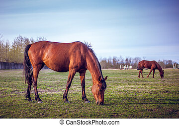 Brown horse grazing green grass on the territory of the ...