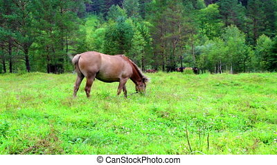 Brown horse grazing in forest meadow - Chestnut horse...