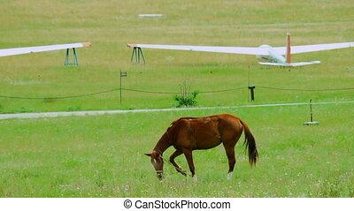 Brown Horse Grazing in Green Meadow
