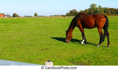 brown horse grazing in the field of green grass
