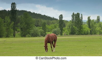 Brown horse grazing on summer pasture among the hills