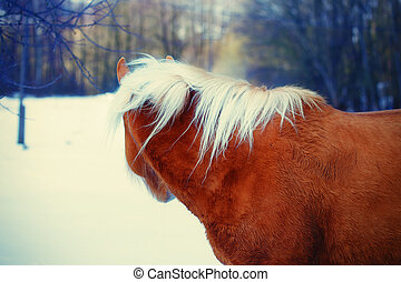 Brown Horse Haflinger in snow land. staring into the distance.