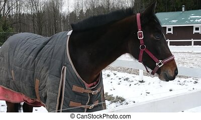 Brown horse in enclosure with bridle and clothes in winter. Stay and rest