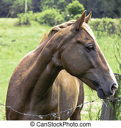 Brown horse looking to the right