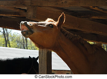 Brown horse making funny face