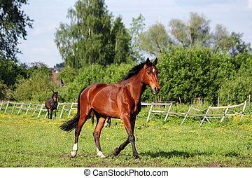 Brown horse running home in the summer day