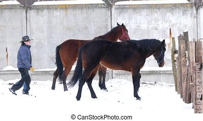 Brown horses walking in an open paddock in winter and...