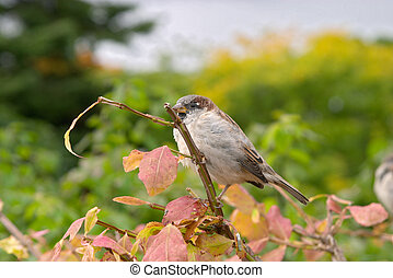 Brown house sparrow (Passer domesticus) on an autumn tree, ...