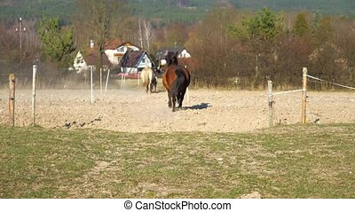Brown hucul hard run by horses.  Mixed horse herd galloping from meadow by thin corridor to farm paddock. Trained horses move to the home fenced backyard. Slow motion.