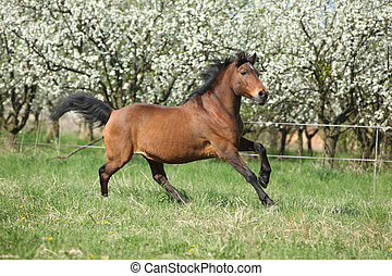 Brown hutsul running in front of flowering trees