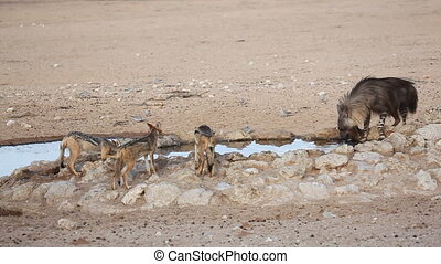 Brown hyena drinking water - A brown hyena (Hyaena brunnea)...