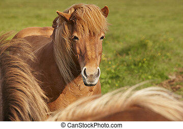 Brown icelandic horses with green background. Horizontal...