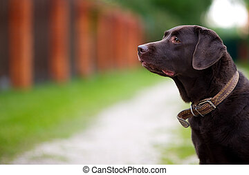 brown labrador against the background of a summer landscape in the village. copy space