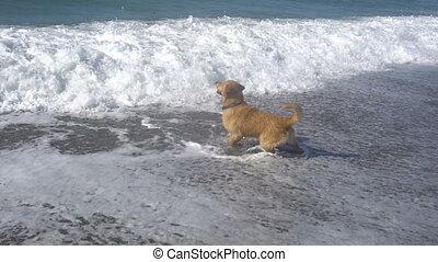 Labrador dog is played on the sea shore - brown Labrador dog...