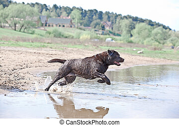 Brown labrador jumping in the water