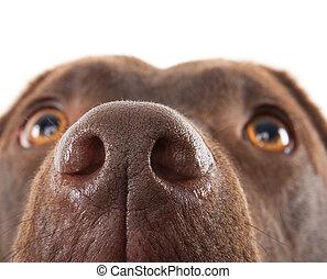 Brown labrador nose close-up