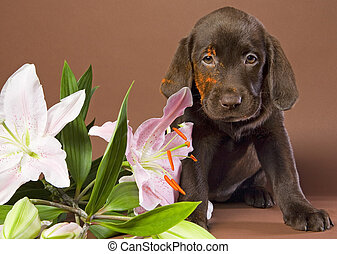 puppy with white lily - Brown labrador puppy with white lily