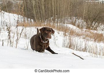 Brown Labrador Retriever in winter landscape